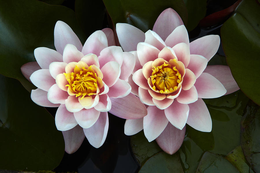 Horizontal Photograph - Pair Of Water Lilys by Allan Baxter