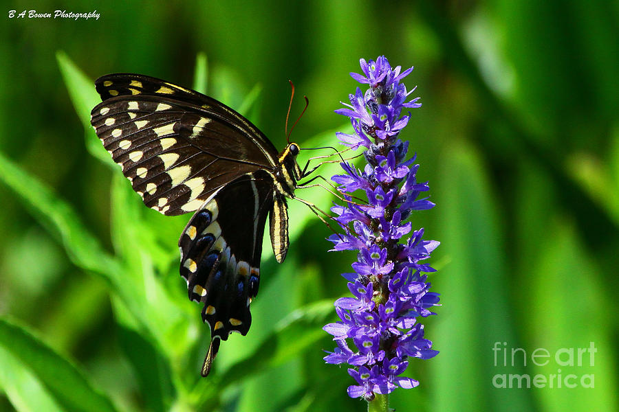 Palamedes Swallowtail Butterfly Photograph  - Palamedes Swallowtail Butterfly Fine Art Print