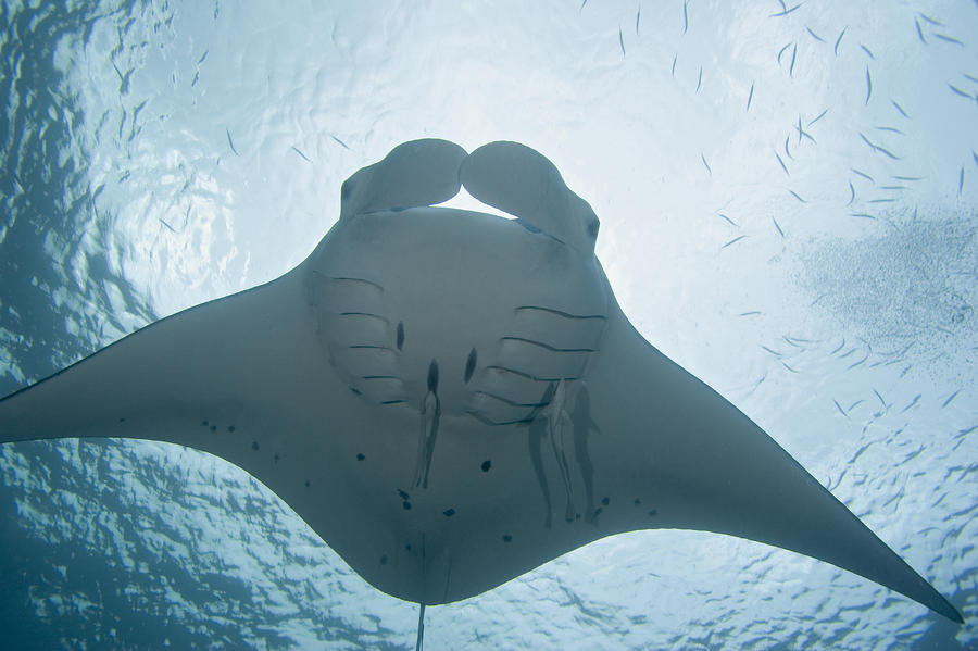 Palau, Manta Ray Photograph