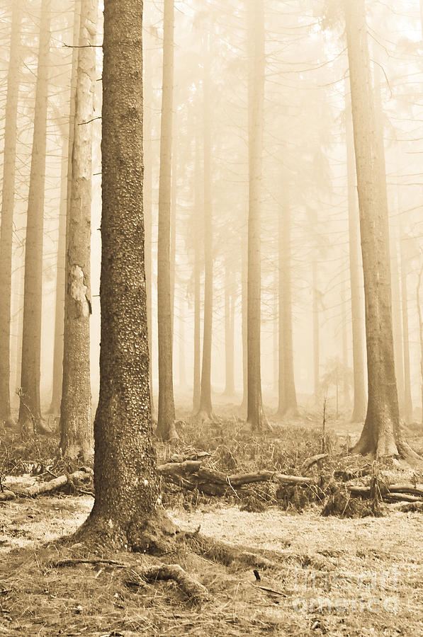 Pale Forest Photograph