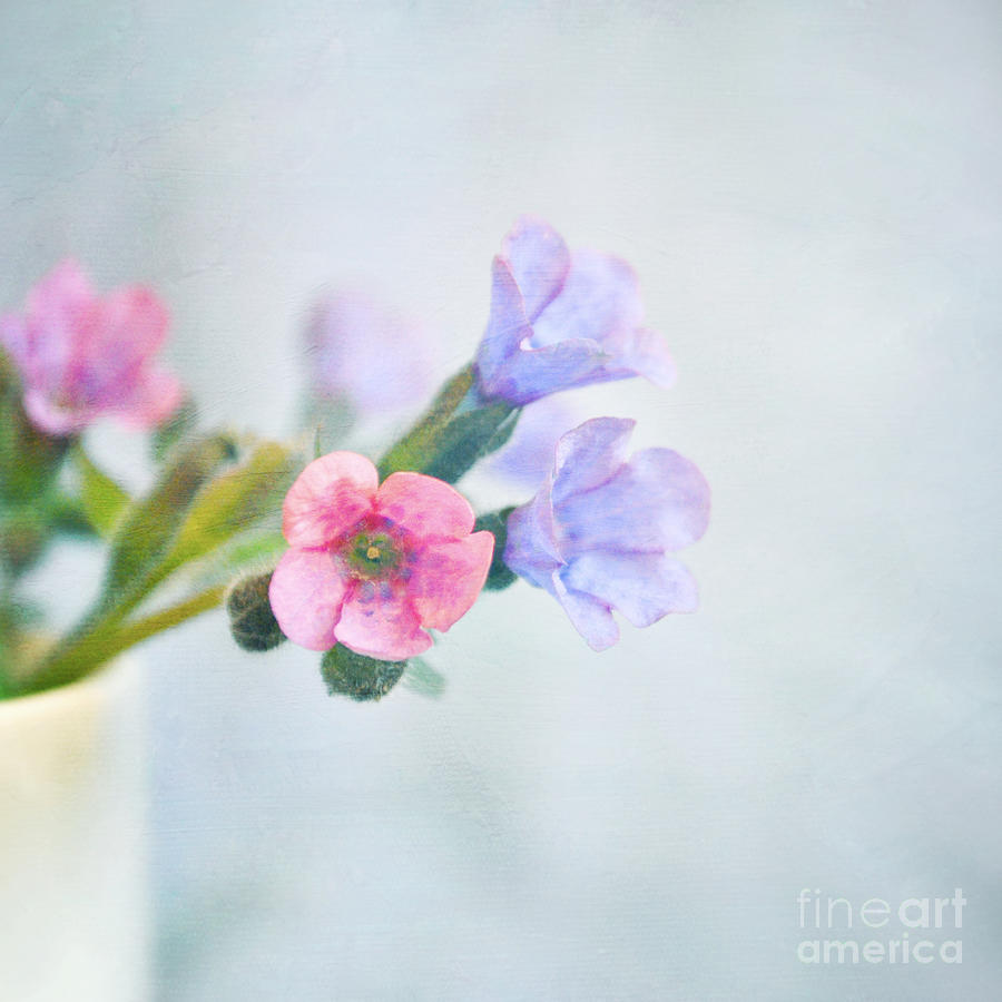 Pale Pink And Purple Pulmonaria Flowers Photograph  - Pale Pink And Purple Pulmonaria Flowers Fine Art Print