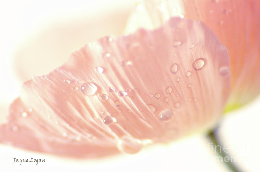 Pale Pink Poppy Photograph