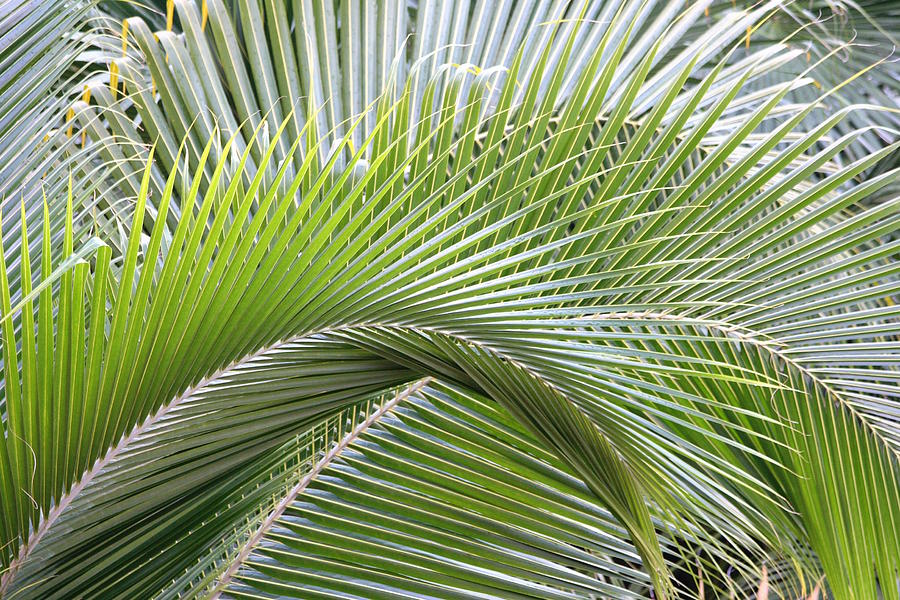 Palm Frawns Photograph