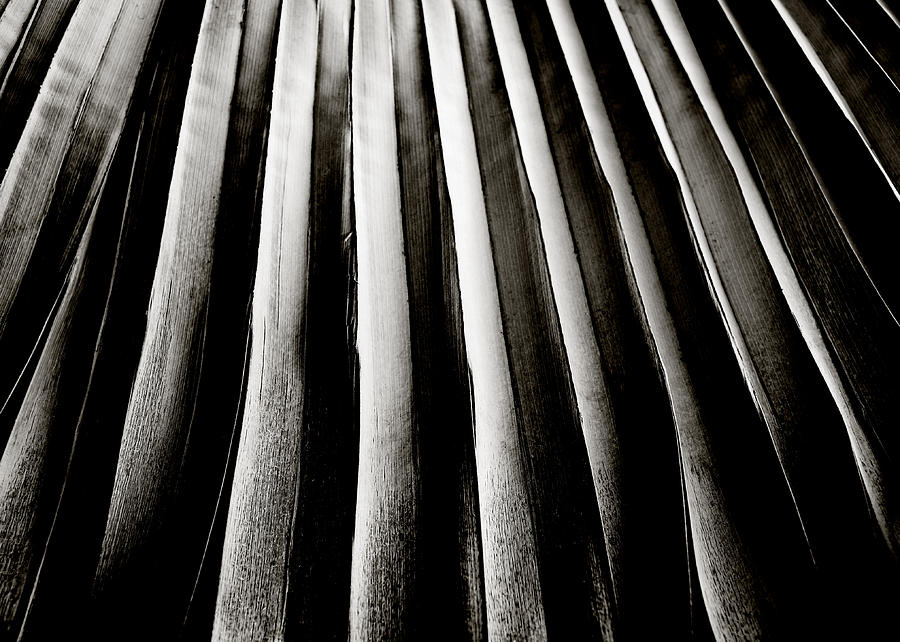 Palm Frond Photograph