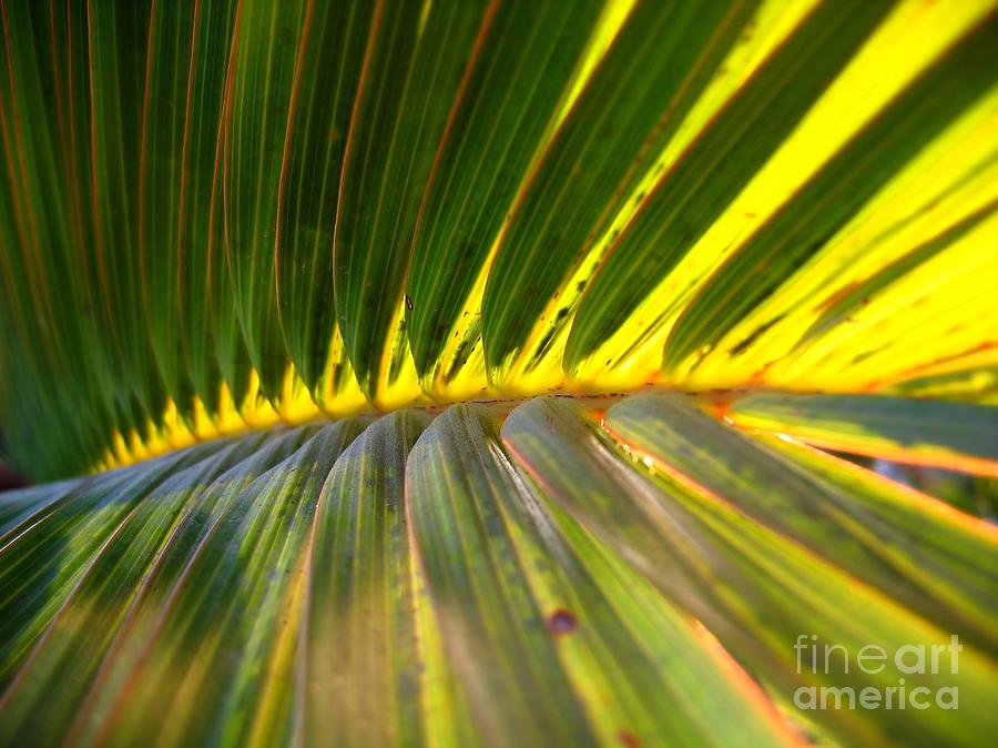 Palm Fronds Illuminated By The Sun Photograph