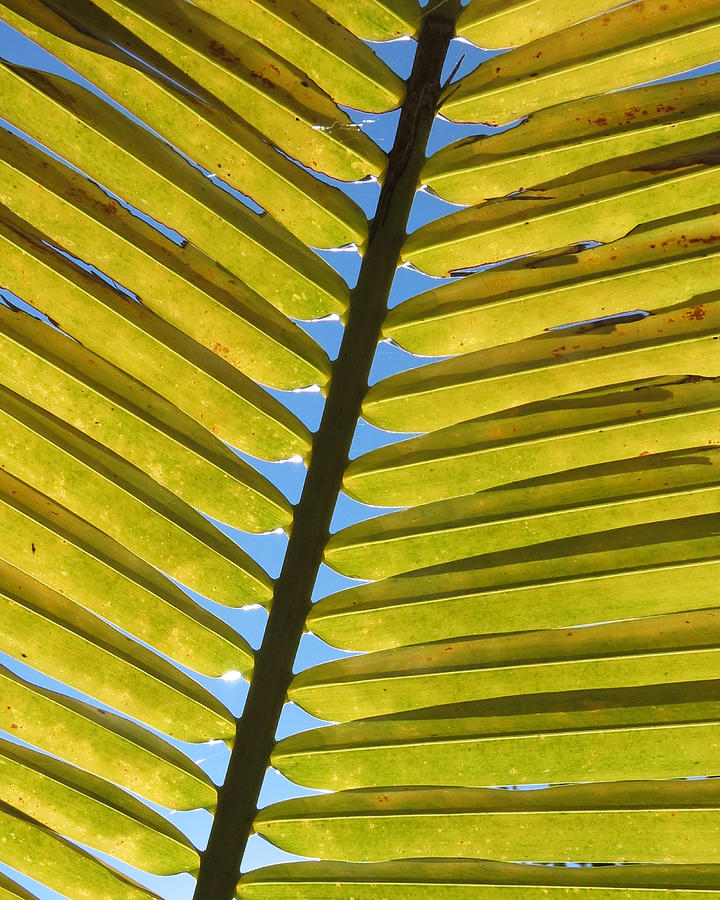 Palm Leaf Photograph  - Palm Leaf Fine Art Print