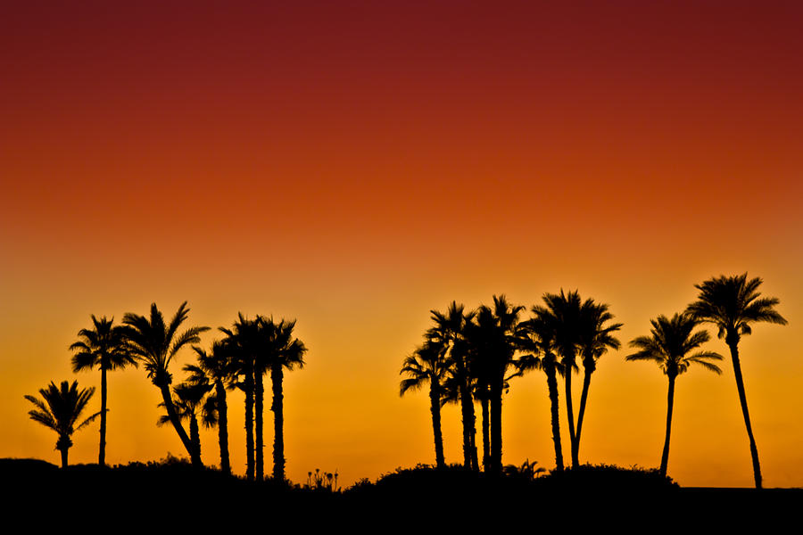 Palms At Sunset Photograph  - Palms At Sunset Fine Art Print