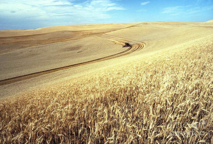 Palouse Wheat Photograph