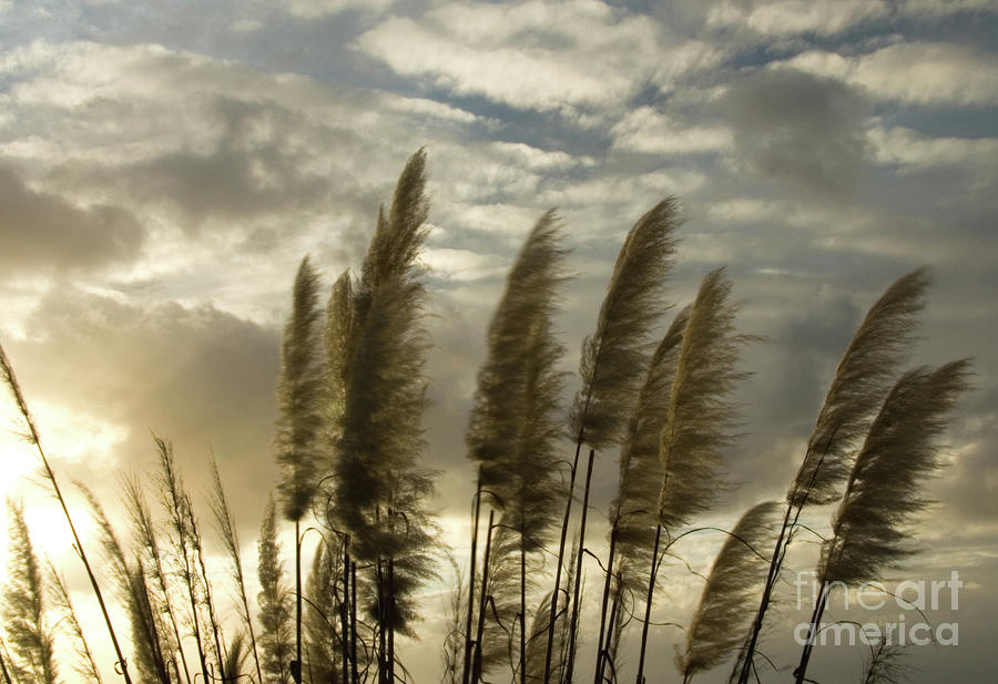 Pampas Grass Photograph  - Pampas Grass Fine Art Print