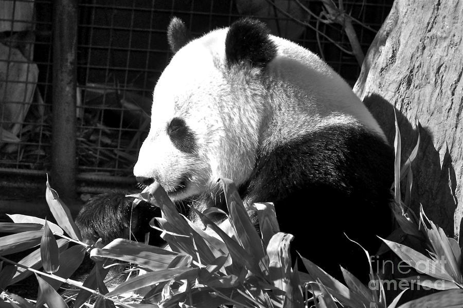 Panda Baby Photograph