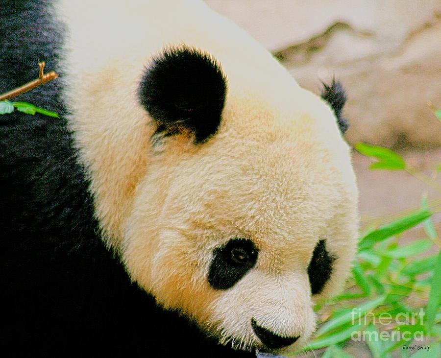 Panda Bear Photograph - Panda  by Cheryl Young