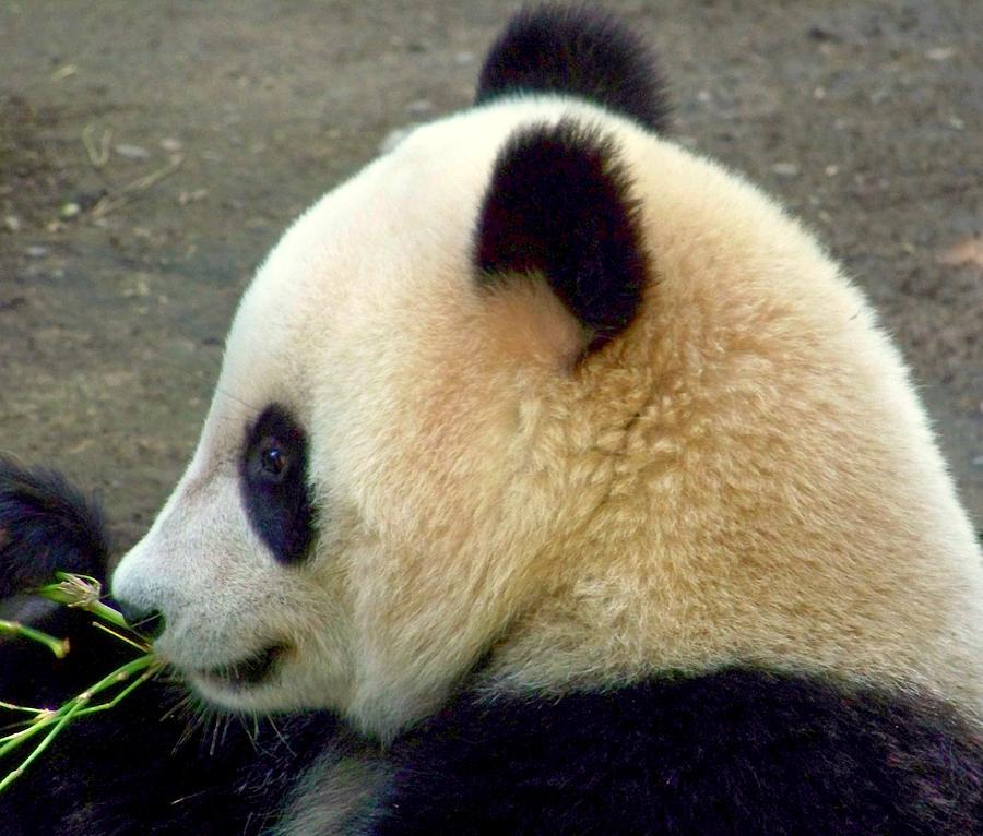 Panda Snack Photograph