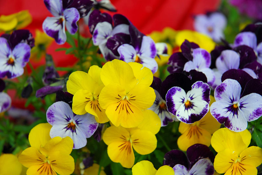Pansies And Red Cart Photograph  - Pansies And Red Cart Fine Art Print