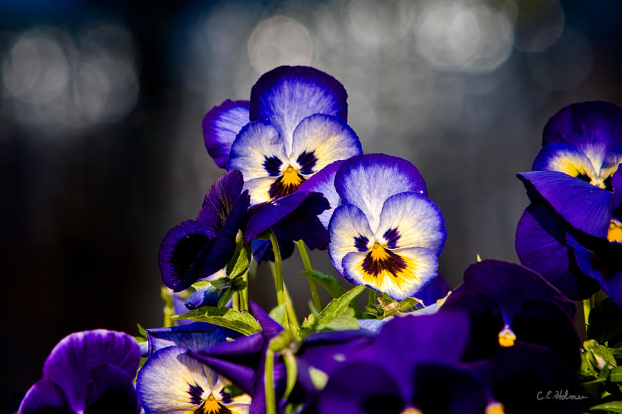 Pansies Photograph