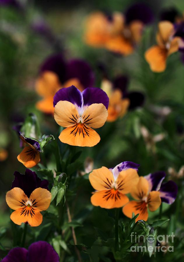 Pansy Photograph - Pansy Garden by Sabrina L Ryan
