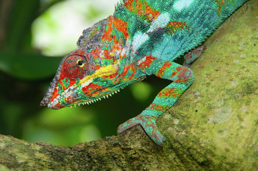 Horizontal Photograph - Panther Chameleon by Dave Stamboulis Travel Photography