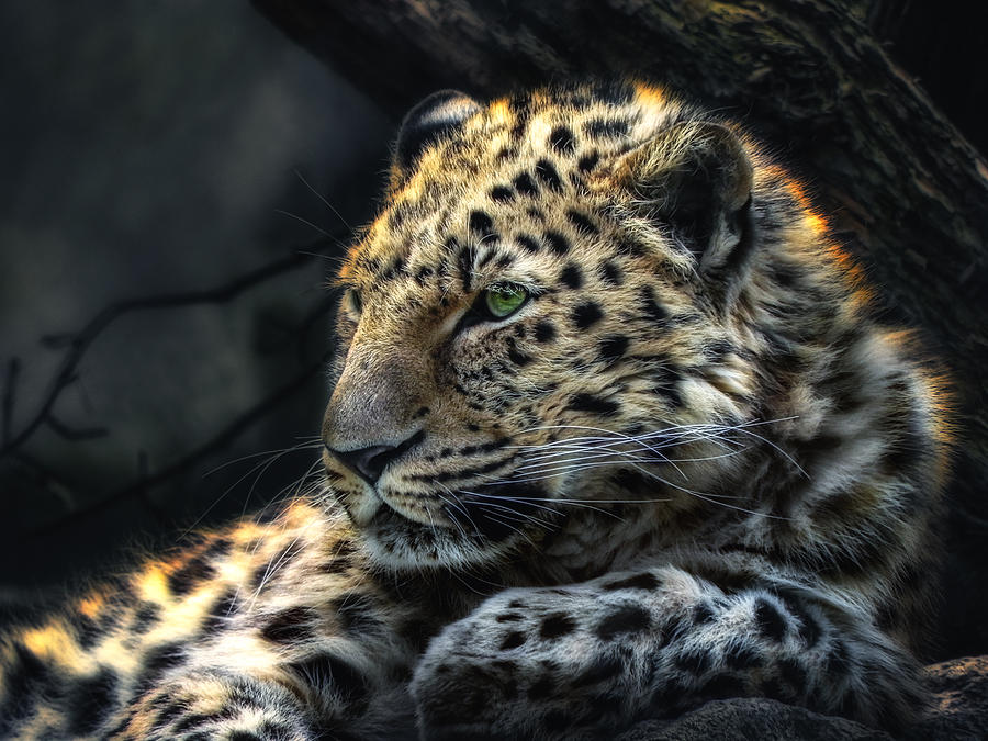 Panthera Photograph  - Panthera Fine Art Print