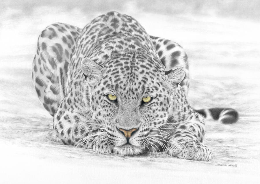 Panthera Pardus - Leopard Drawing