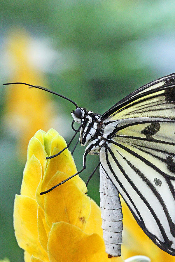Butterfly Photograph - Paper Kite On Yellow Flower by Becky Lodes