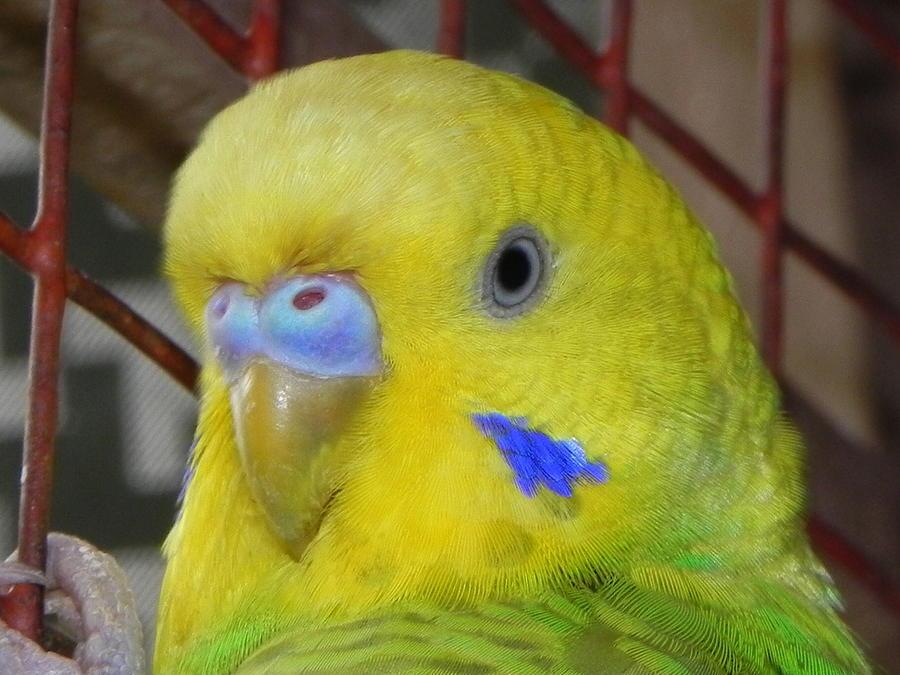 Parakeet Inside Cage Photograph