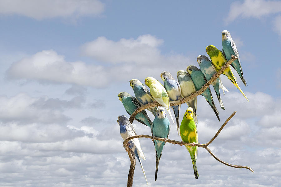 [Image: parakeets-perched-on-a-branch-againts-a-...-nyhof.jpg]