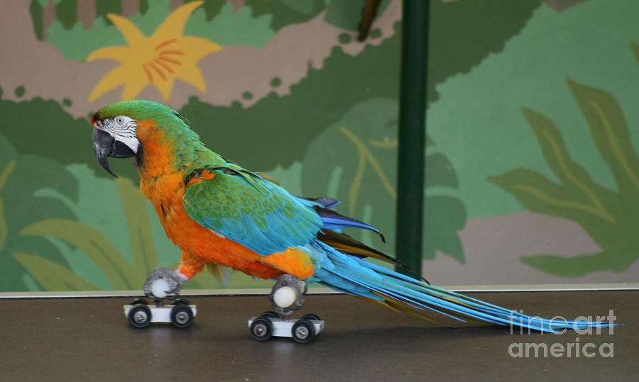 Parrot On Skates Photograph