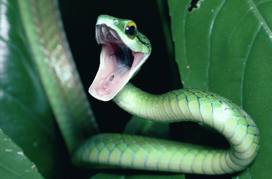 Mp Photograph - Parrot Snake Leptophis Ahaetulla by Michael & Patricia ...