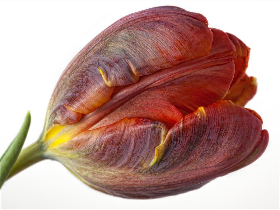 Parrot Tulip 2 Photograph