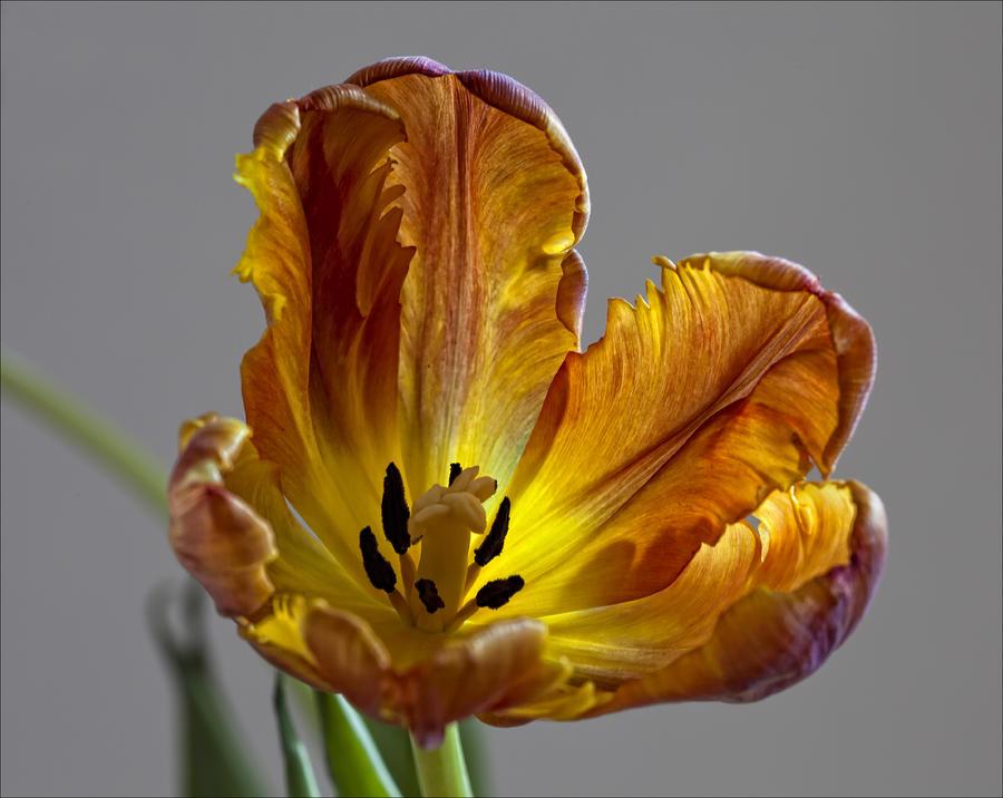 Parrot Tulip 22 Photograph