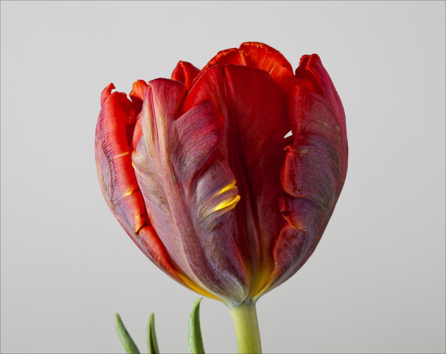 Parrot Tulip 3 Photograph