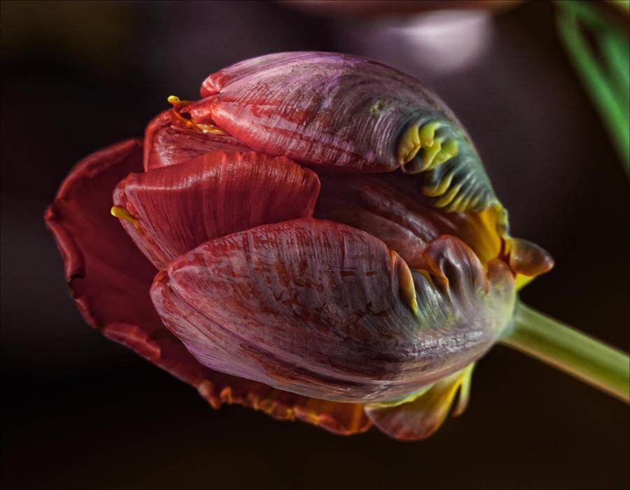 Parrot Tulip 4 Photograph