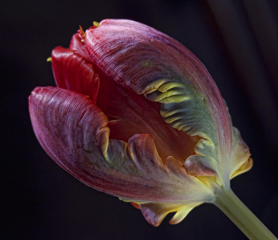 Parrot Tulip 5 Photograph