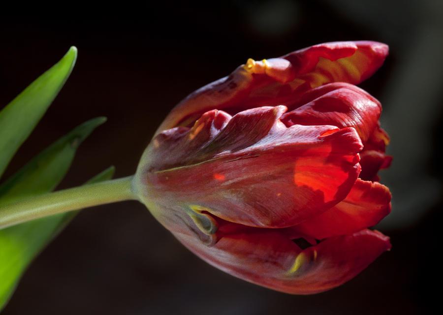 Parrot Tulip 7 Photograph