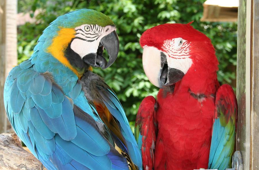 Talking Parrot For Sale Talking Parrots For Sale