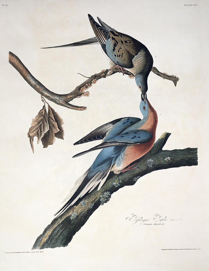 Passenger Pigeon Drawing
