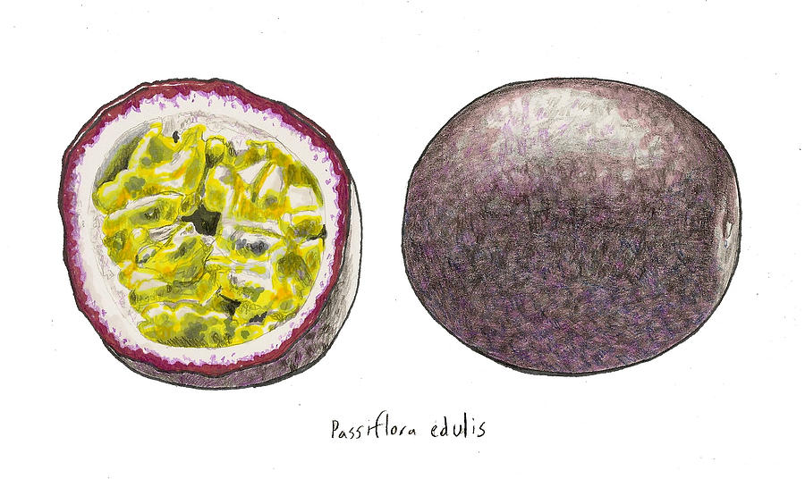 Passiflora Edulis Fruit Drawing  - Passiflora Edulis Fruit Fine Art Print