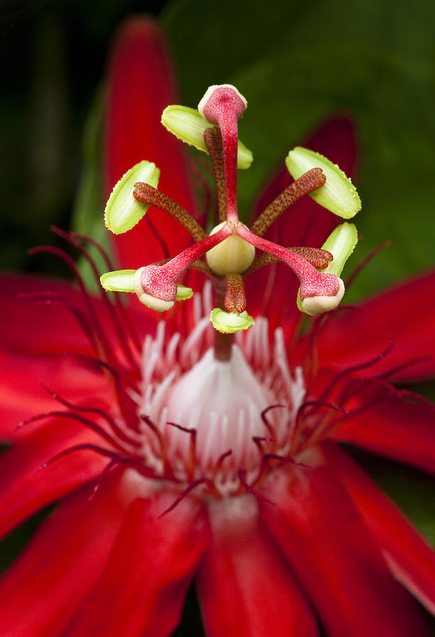 Passiflora Flower Photograph  - Passiflora Flower Fine Art Print