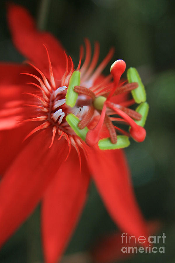 Passiflora Vitifolia Scarlet Red Passion Flower Photograph  - Passiflora Vitifolia Scarlet Red Passion Flower Fine Art Print