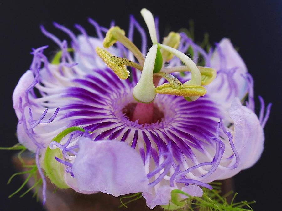 Passion Flora Photograph