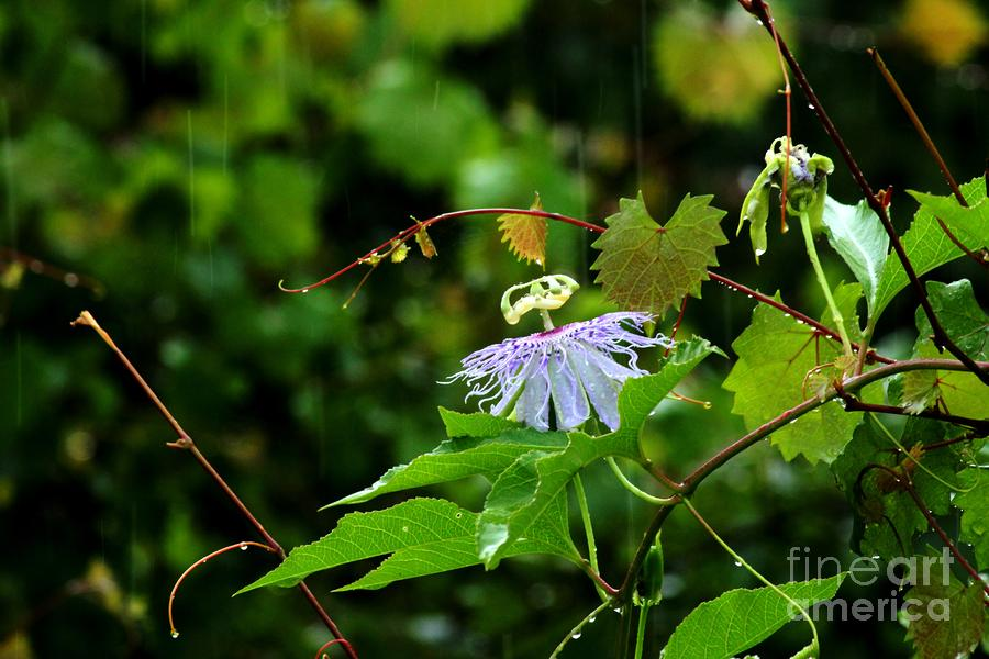Passion Flower In The Rain Photograph