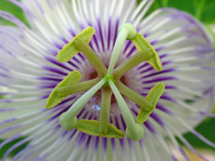 Passion Flower Photograph  - Passion Flower Fine Art Print