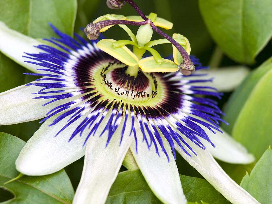 Passion Flower (passiflora Caerulea) Photograph