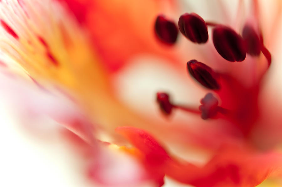 Passion For Flowers. Flamboyant Blossom  Photograph  - Passion For Flowers. Flamboyant Blossom  Fine Art Print