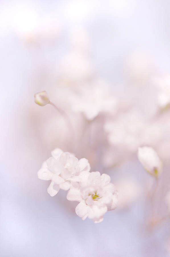 Passion For Flowers. White Pearls Of Gypsophila Photograph