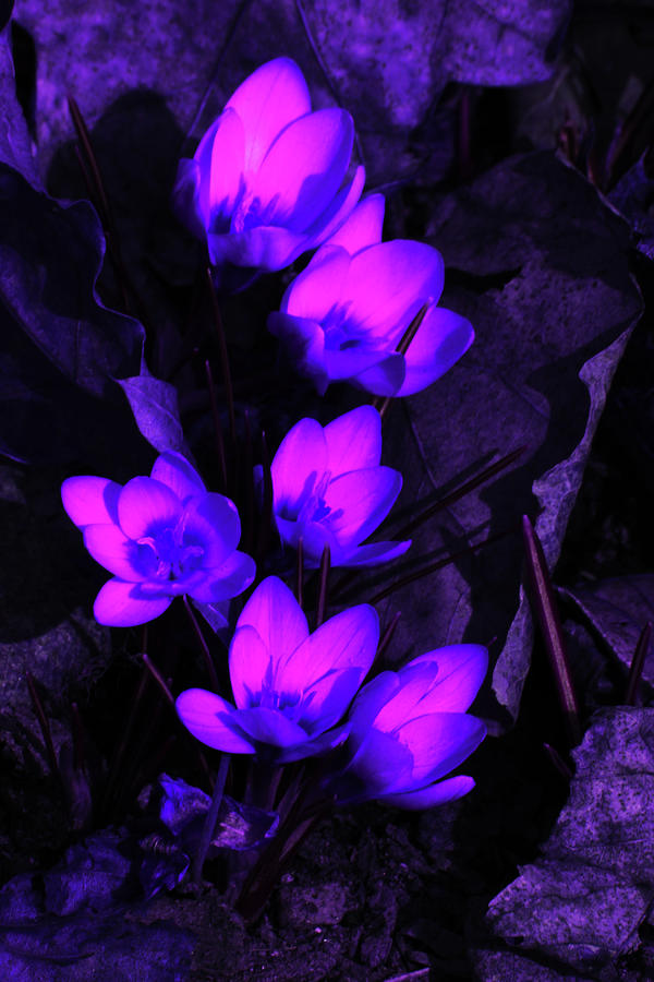 Passionate Blooms Photograph
