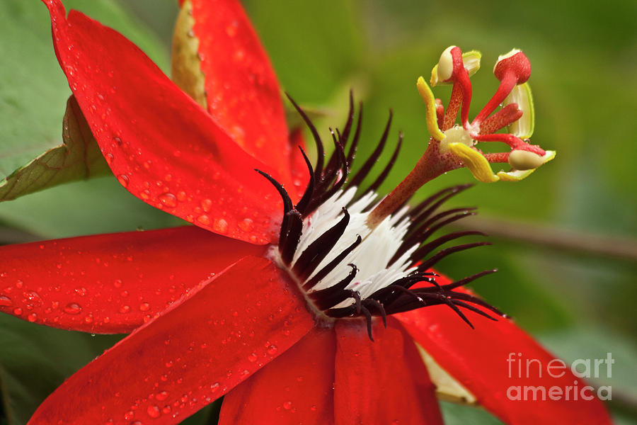 Passionate Flower Photograph