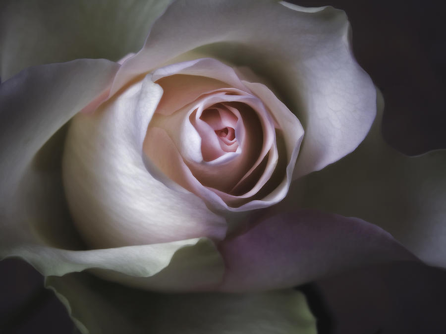 Pastel Flower Rose Closeup Image Photograph  - Pastel Flower Rose Closeup Image Fine Art Print