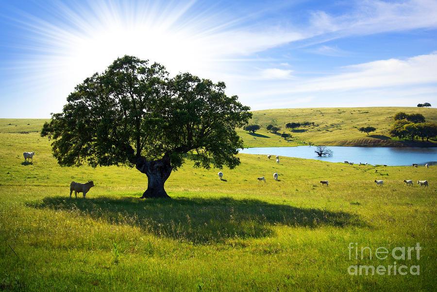 Pasturing Cows Photograph