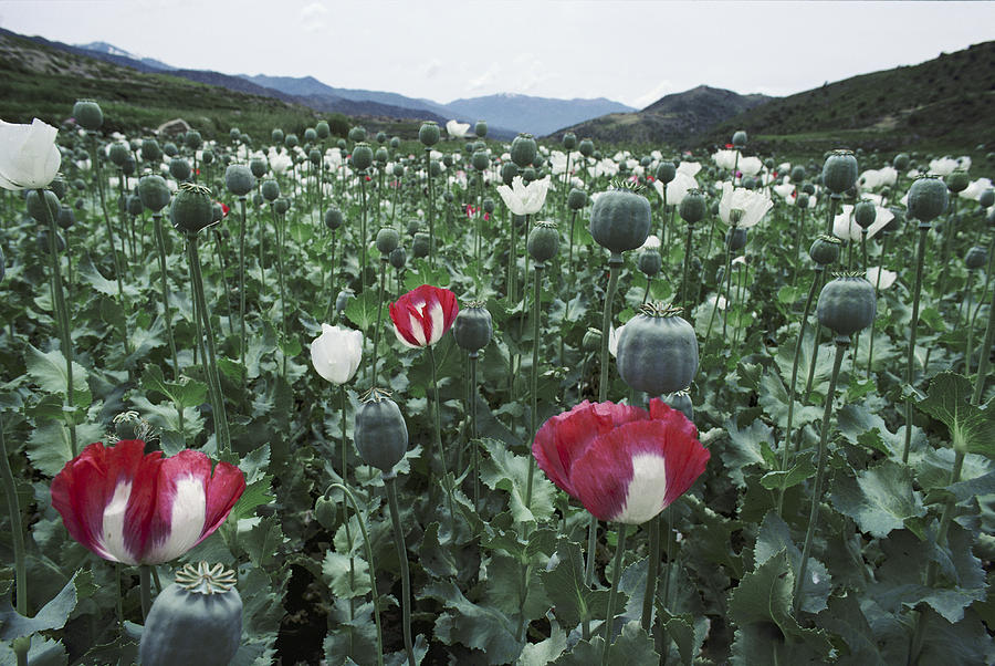 Pathan Opium Poppy Papaver Somniferum Photograph