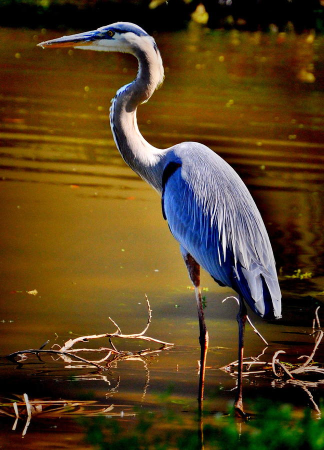 Patience Of The Heron Photograph  - Patience Of The Heron Fine Art Print